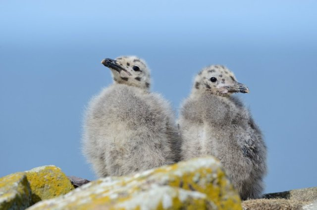Herring gull chicks. ©Lorne Gill/SNH