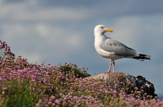 Herring gull. ©Lorne Gill