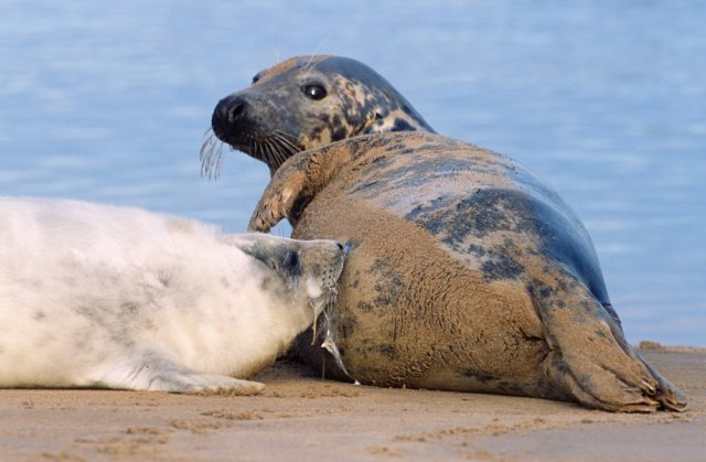 Grey Seal cow and her pup. ©Lorne Gill
