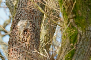 looking out of its nesting hole in an old oak tree, Battleby. ©Lorne Gill/SNH