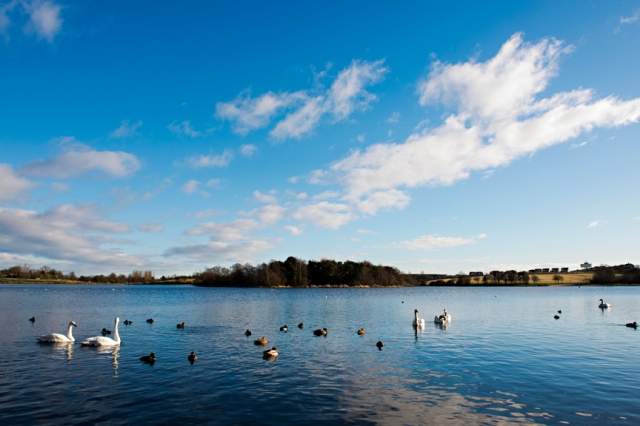 Whooper swans on Hogganfield Loch. © Becky Duncan Photography