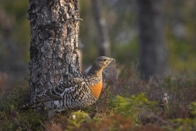 A female capercaillie. ©Danny Green