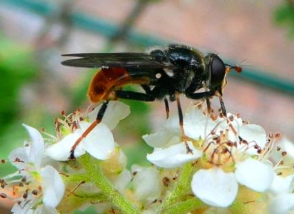 Pine hoverfly. © Iain MacGowan