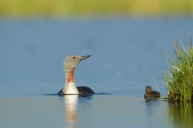 Red-throated diver adult and young chick. ©Mark Hamblin/2020VISION
