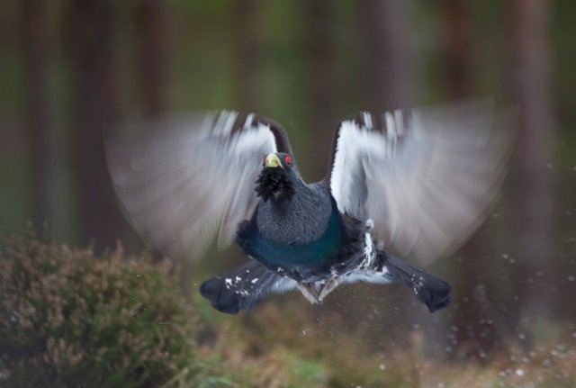 A clattering in the branches , a capercaillie male comes down to face his opponent in the lek. ©Pete Cairns/2020VISION