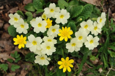 Leser celandines and primroses. © Lorne Gill/SNH
