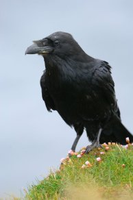 Raven. © Lorne Gill/SNH