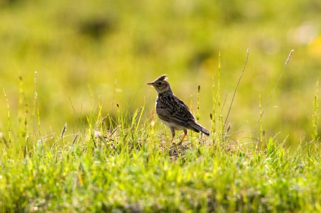 Skylark. © Lorne Gill/SNH