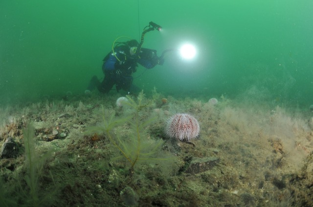 An SNH diver filming on the flame shell bed