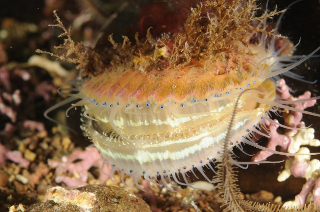 Close-up of a queenie Aequipecten opercularis with an orange sponge and bryozoan covering on a maerl bed