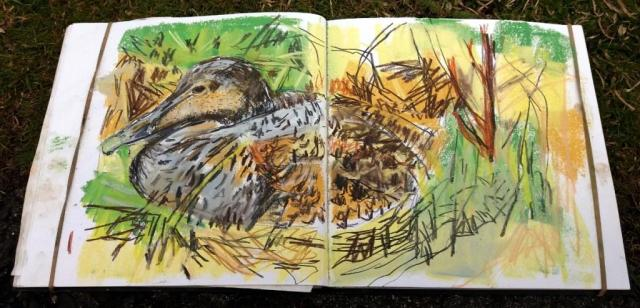Nesting eider drawing, sketchbook.