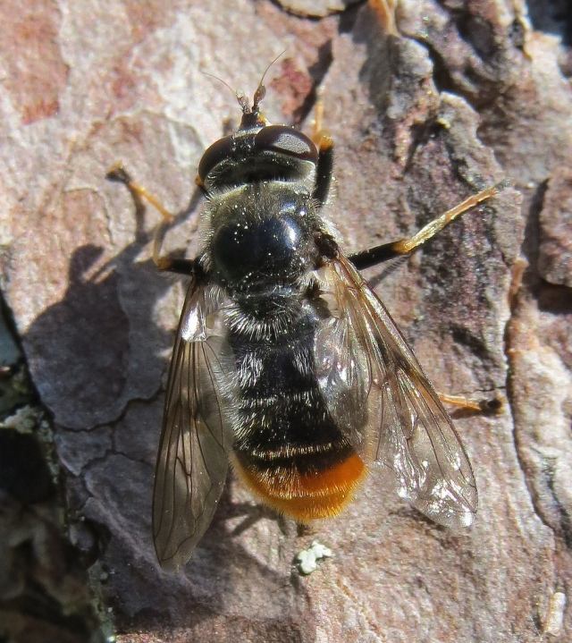 The pine hoverfly (Blera fallax). © Steven Falk