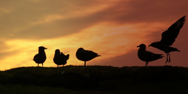 Bonxies at sunset.