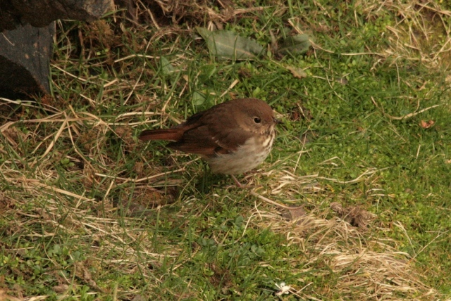 Hermit thrush on Noss – 19 April 2017.