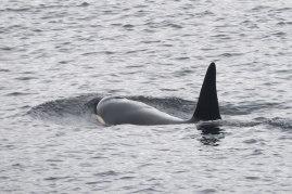 Killer whale.