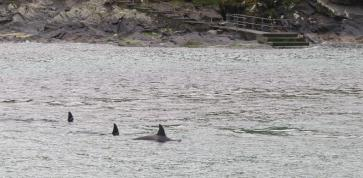 Killer whales in Noss Sound.
