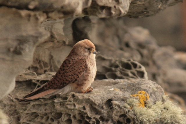 Lesser kestrel on Noss – 1st May 2017.