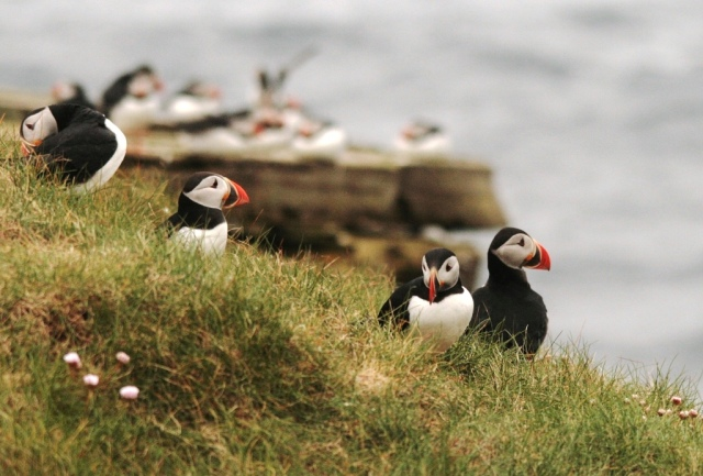 Puffins – easy on the eye, tricky to monitor.
