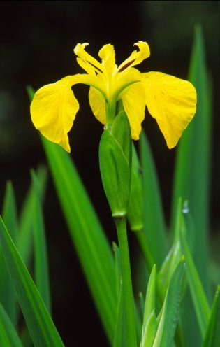 Yellow flag iris. © Laurie Campbell/SNH