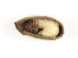Pot beetle larva inside a case. © Ross Piper