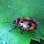 The six-spotted pot beetle. © Suzanne Burgess