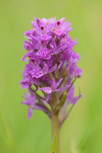 Northern marsh orchid. ©Lorne Gill/SNH