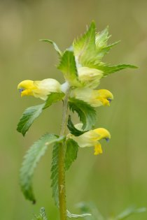 Greater yellow rattle. ©Lorne Gill/SNH