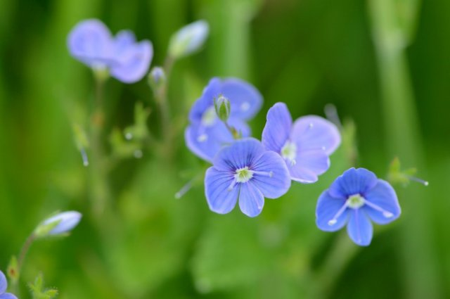 Germander speedwell. ©Lorne Gill/SNH