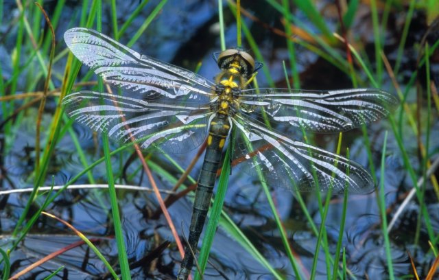 A northern emerald dragonfly. ©Laurie Campbell/SNH