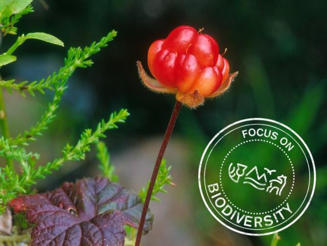Cloudberry fruit, Beinn Eighe NNR. ©Niall Benvie/SNH