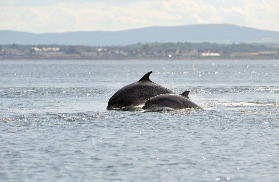 Bottlenose dolphins, Moray Firth. ©Lorne Gill/SNH