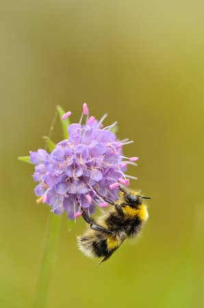 Bumblebee feeding on devil's bit scabious. ©Lorne Gill/SNH
