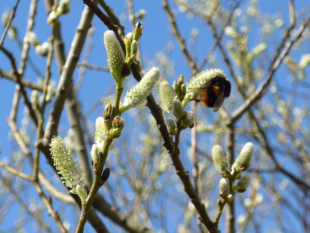 Bumblebee ID training.