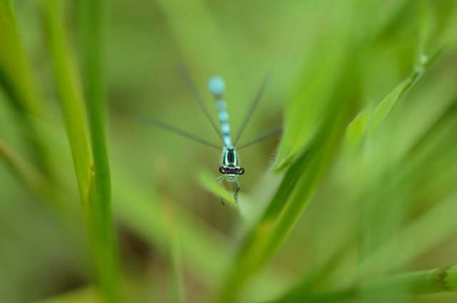 Common blue damselfly. ©Lorne Gill/SNH