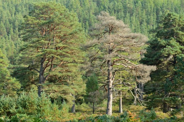 Scots pine forest at Glen Tanar National Nature Reserve. Deeside. ©Lorne Gill/SNH