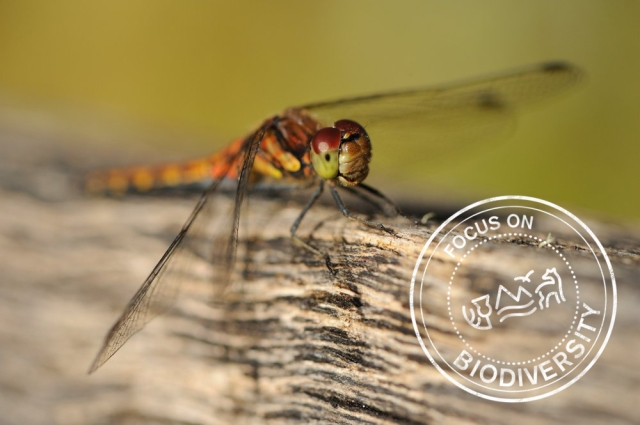 A female highland darter. ©Lorne Gill/SNH