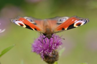 A peacock butterfly feeding on the SNH wildflower meadow at Battleby, ©Lorne Gill/SNH