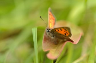A small copper butterfly feeding on the SNH wildflower meadow at Battleby.