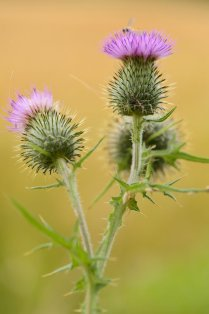 Spear thistle. ©Lorne Gill/SNH