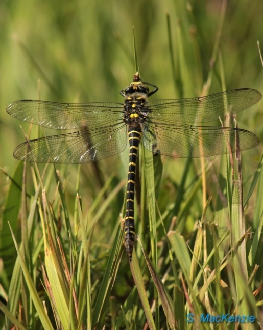 The female Golden-ringed dragonfly is the longest dragonfly in the British Isles. © Stuart MacKenzie