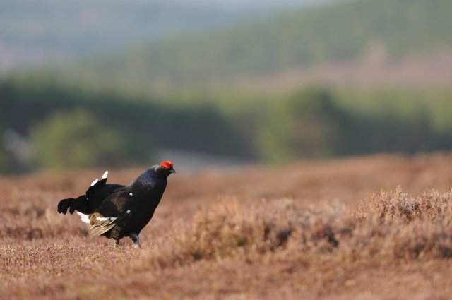 BlackGrouse-D7882.jpg