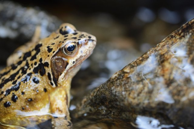 A common frog in the Fee Burn, Coire Fee National Nature Reserve. © Lorne Gill/SNH