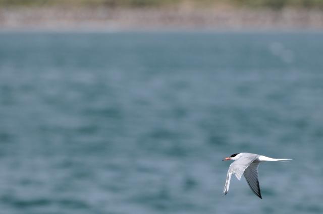 Common Tern (Sterna Hirundo). ©Lorne Gill