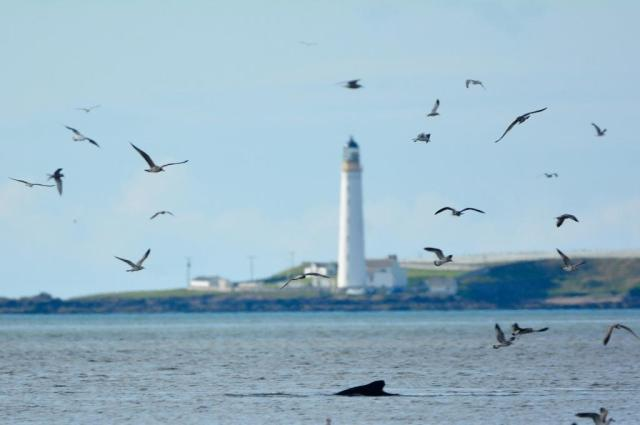 The humpback whale with Scurdie Ness lighthouse in the background. © Ron Macdonald