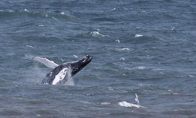 The humpback whale breaching in St Cyrus bay. © Phil Evans