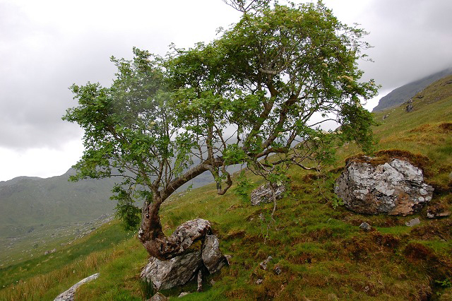 Tree growing out of rock in Coire Earb. © Greg Morss Creative Commons