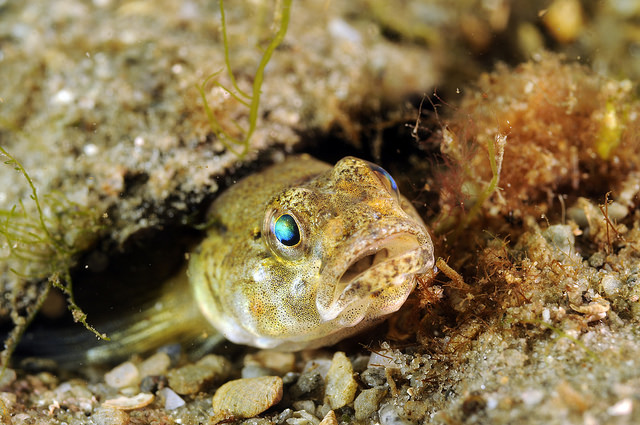 A painted goby - Loch Sween.
