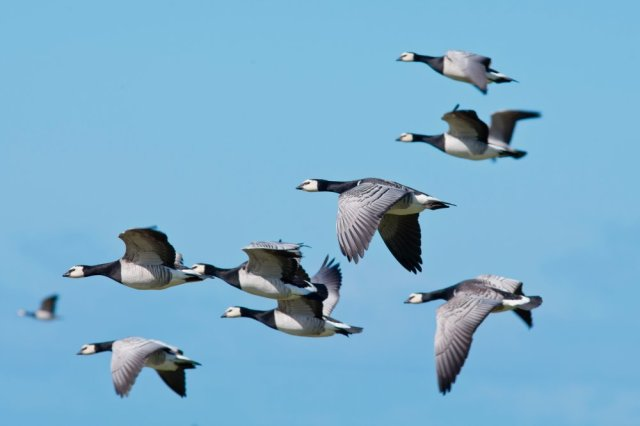 Barnacle Geese in flight. ©David Whitaker