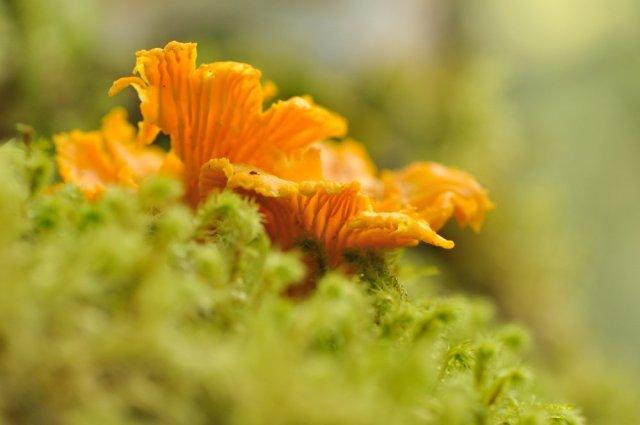 Chanterelles a' fàs ann an Gleann Afraig | Chanterelles growing at Glen Affric NNR. ©Lorne Gill/SNH