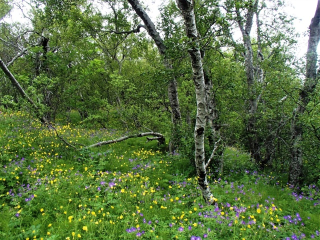 Woodland flowers in Iceland.